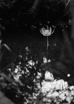 HONEBANA (Born Flowers) Lotus #1